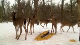 Early Evening Deer