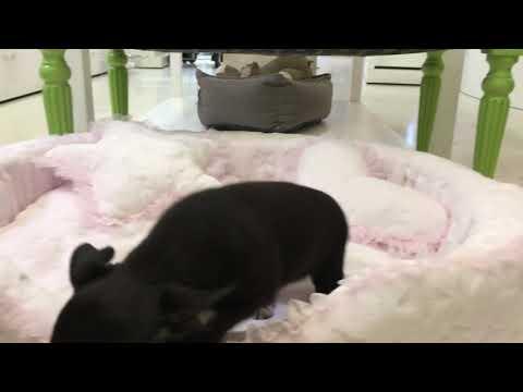 Chihuahua hembra toy, Enna