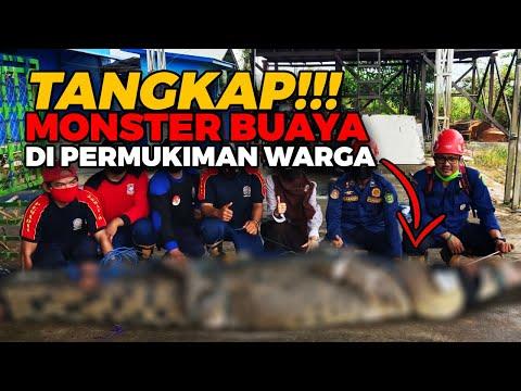 Diumpan Ayam, MONSTER BUAYA di Permukiman Warga Ditangkap!!