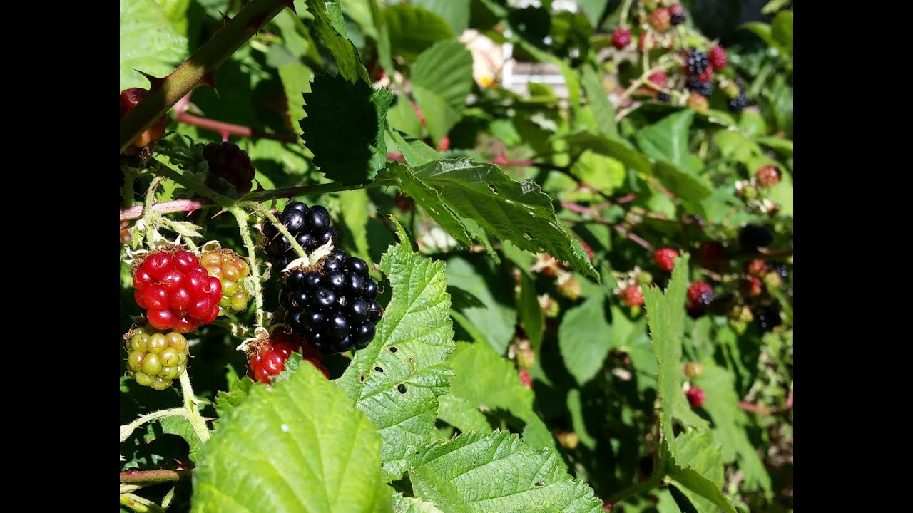 How to Grow Wild Blackberry - Great Fruit, little effort ...