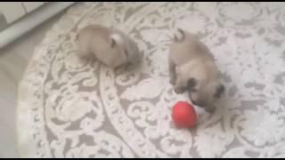 Мопс щенки