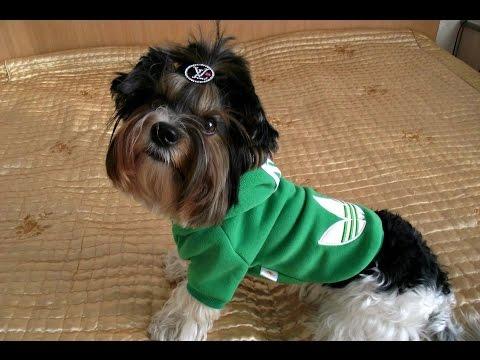 Одежда для собак своими руками выкройки! Толстовка для собаки! Собака выкройка)