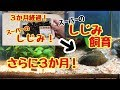 飼育開始から6ヶ月経過!【スーパーのシジミ】 の動画、YouTube動画。