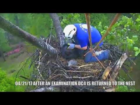 AEF-DC EAGLE CAM  🐣🐣 RESCUE OF EAGLET DC 4... SEALED WITH A KISS!