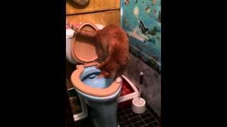 Рыжий кот ходит в туалет)))