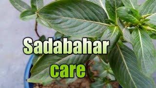How to care sadabahar in Hindi