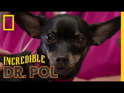 In Splint Condition | The Incredible Dr  Pol - YouTube