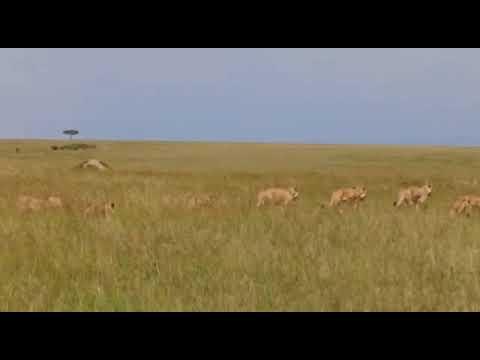 Masai Mara Safari - Lions Numbers