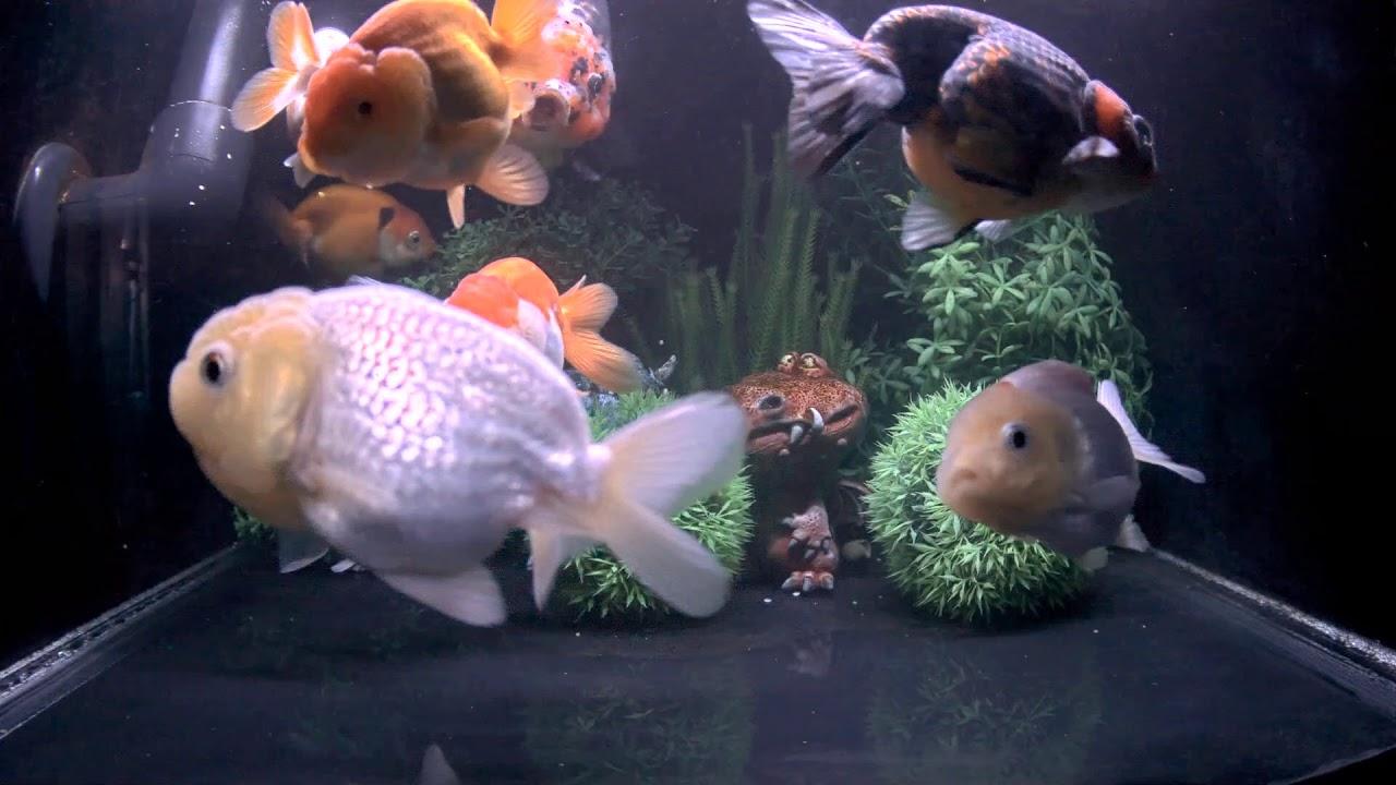 East Coast Ranchu Goldfish Live Stream CAM 2