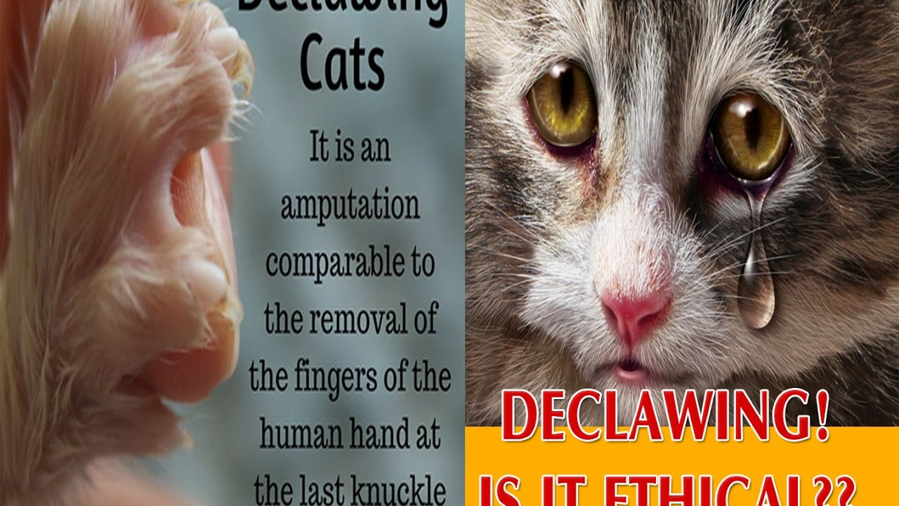 Declawing A Cat Video