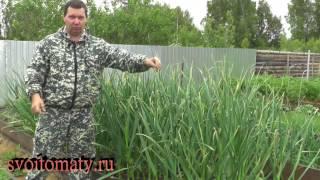 Урожайный чеснок.  Когда обрывать стрелы и убирать урожай