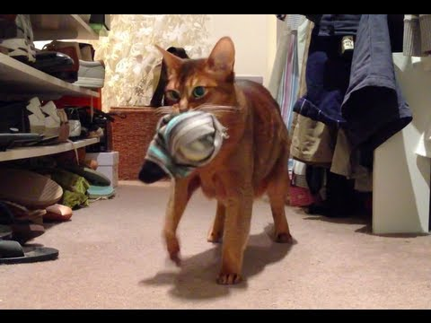 Caught Hidden Camera Catches Abyssinian Cat Stealing