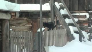 Сибирские коты посуровее челябинских