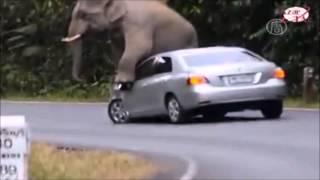 Eléphant VS Voiture