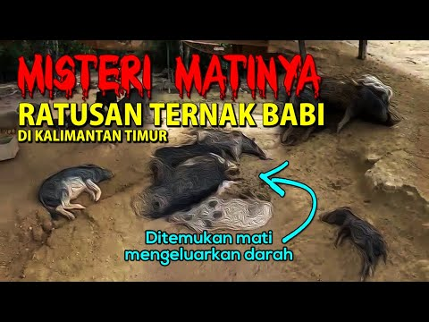 RATUSAN BABI Ternak Mati Secara Misterius, Ditemukan Mengeluarkan Darah!!