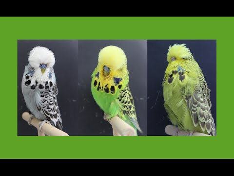Meeting with Ralph Jenne - Exhibition Budgerigar Champion Br