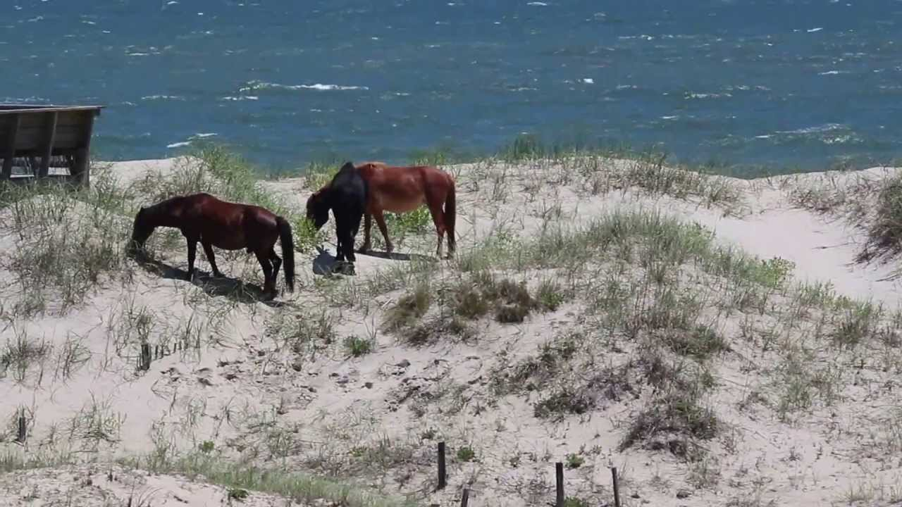 Corolla Wild Horses Visible From Currituck Beach House