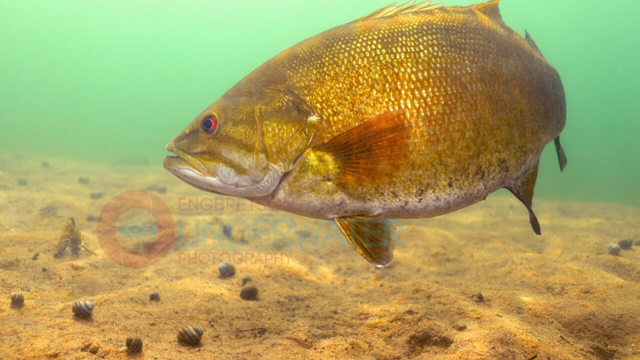 Smallmouth Bass Swimming Underwater Engbretson Photography