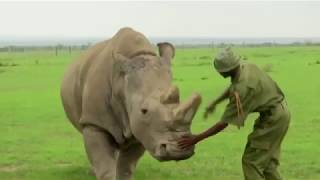 The Last Male Northern White Rhino: Daily Planet