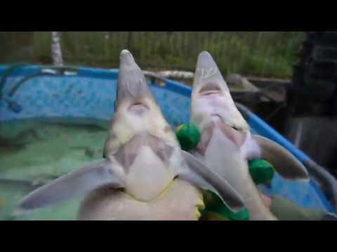 Видео: Как отличить стерлядь от бестера.(Запускаем рыб обратно в водоём).