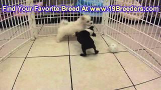 Boston Terrier, Puppies, For, Sale, In, Olathe, Kansas, County, Ks, Fairfield, Litchfield, Middlesex