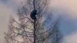 Как снять медведя с дерева (Bear in a tree)