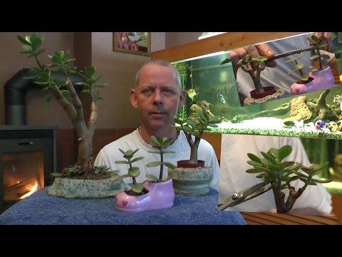 geldbaum-bonsai-schneiden-und-vermehren-teil-4