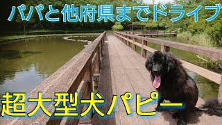 超大型犬ニューファンドランドNewfoundlanddogBOSS君と 県外までブラブ...