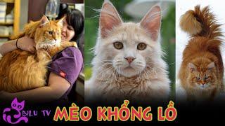 Những điều thú vị về mèo khổng lồ Maİne Coon