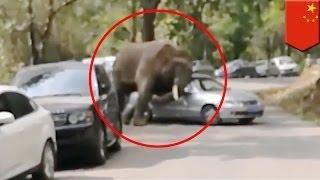 Фрустрированный слон нападает на машины в Китае