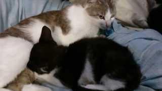 Взрослый котенок <b>сосет</b> сиську(Adult kitten sucking boobs ...