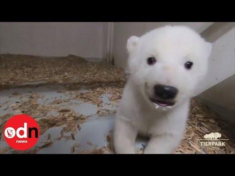 Adorable footage of polar bear cub's first checkup