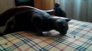 Кошка ест корм как в фильме)