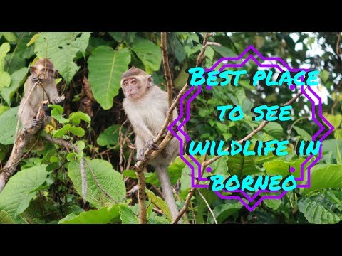 THE BEST PLACE TO SEE WILDLIFE IN BORNEO, KINABATANGAN MALAYSIA VLOG