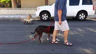 Sit Means Sit Summerlin- Pit Bull Leash Training