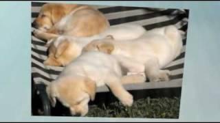 Labrador Puppies Nsw Australia