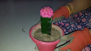 Moon Cactus - Care and Propagation    How to Grow and Care Moon Cactus    Moon Cactus