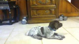 German Shorthaired Pointer Training
