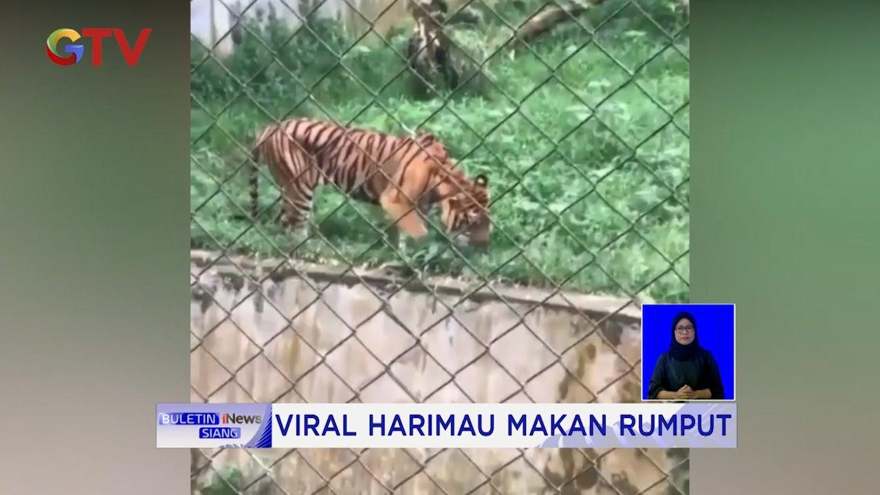 Viral Harimau Makan Rumput di Medan Zoo, Kahiyang Ayu Akan Kasih Makan #BIS 25/09