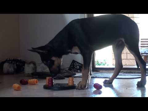 Mate playing with his mind toy for the first time  Australian Kelpie Puppy