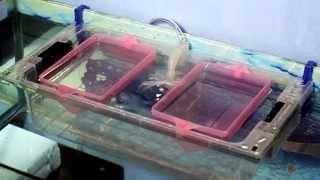 Akvaryum Yavruluk Biolife Turbo Fx5 Filtreli Patentli Mucize Yavruluk Yavrularda % 100 Koruma Sağlar