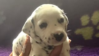 25 day old Dalmatian puppies exploring