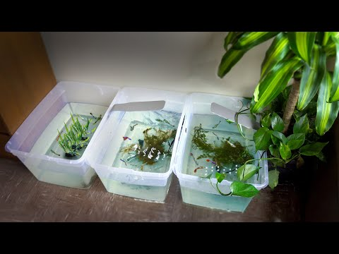 Breeding Guppies In Container Ponds!