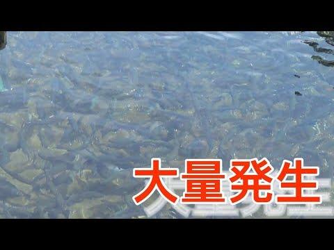 富士山の湧き水で大量発生した『川魚』をスプーンで釣りまくる!