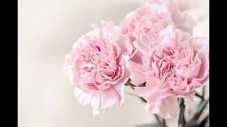 Trồng hoa cẩm chướng - chậu màu đỏ Scarlet picotee