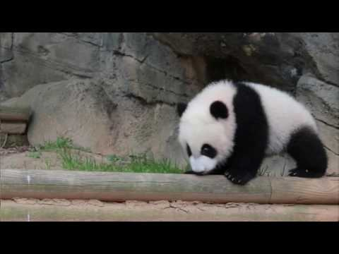 RAW: Zoo Atlanta panda twins venture outside for the first time