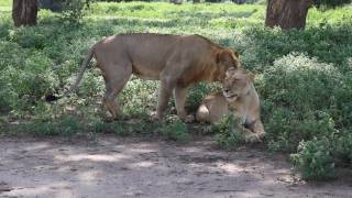 A mating couple of Lions