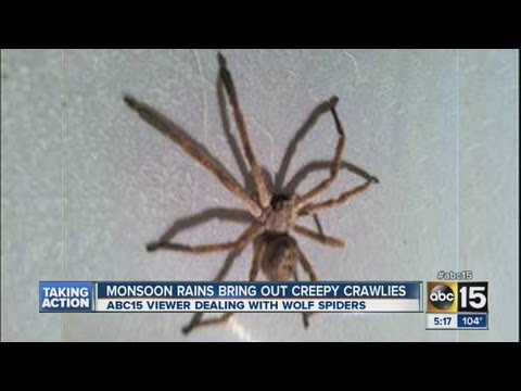 Monsoon rains bring out more spiders