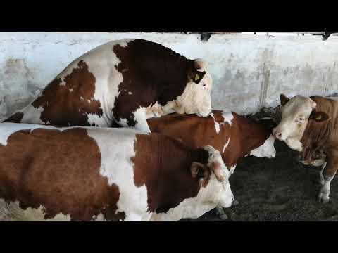 Bulls & Cows Best Farming - New Bulls Meet Cows First Time #16