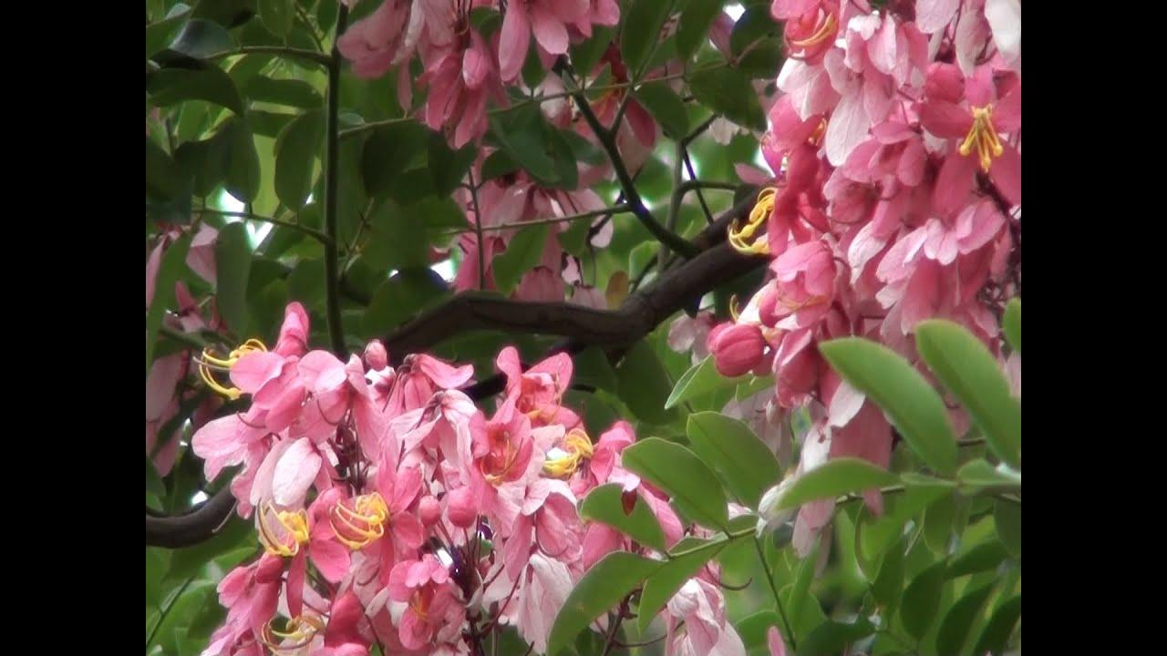 c ssia rosa cassia grandis rvores floridas plantas. Black Bedroom Furniture Sets. Home Design Ideas